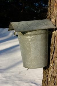 collecting sap the old-fashioned way